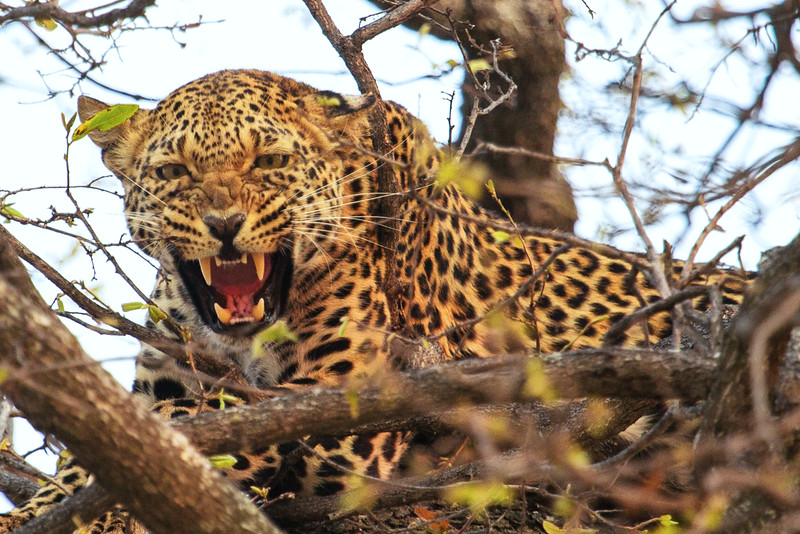 Leopard Growl, Zimbabwe