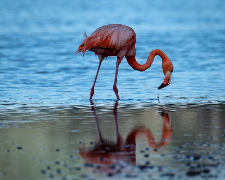 Flamingo Reflection, Galapagos