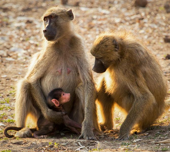 Curious Baboons, Zimbabwe