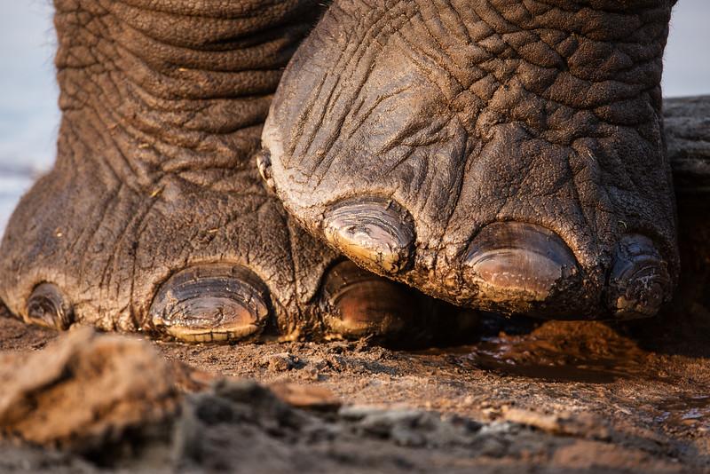 Elephant Feet, Zimbabwe