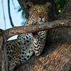 Relaxing Leopard, Botswana