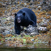 Black Bear Searching for Crabs, Vancouver Island