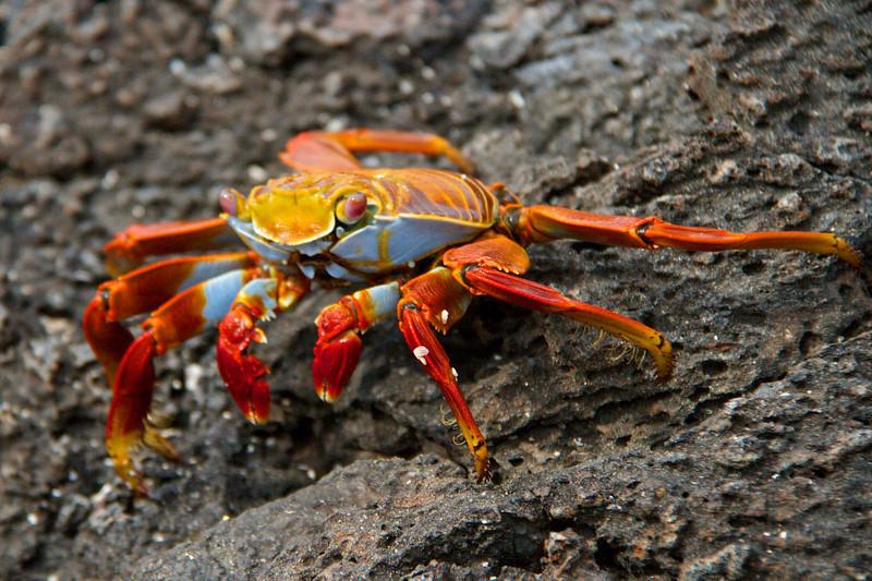 Crab _ Galapagos Islands