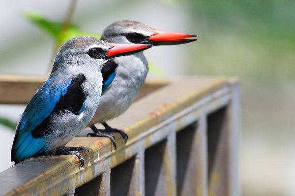 Woodland Kingfisher (Halcyon Senegalensis), Douala, Cameroon.