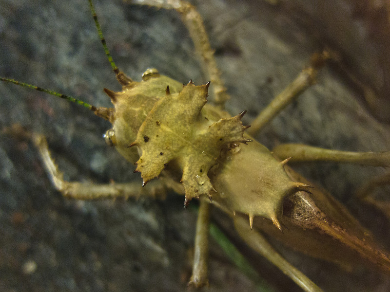 """<span id=""""title"""">Katydid</span> <em>Audubon Insectarium</em> Some sort of crazy spiked katydid at the insectarium, a museum for insects in the old US Customs building."""