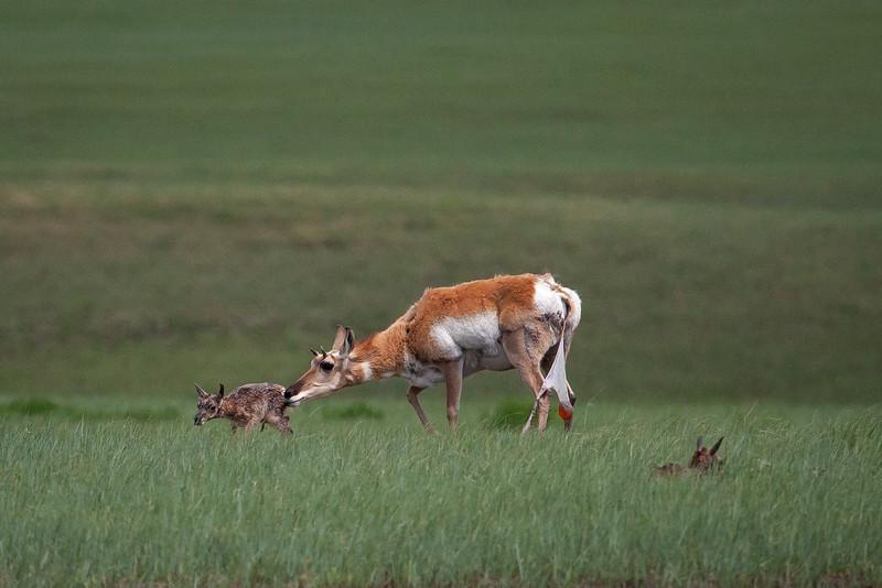 Baby Antelope's First Steps, Badlands, South Dakota