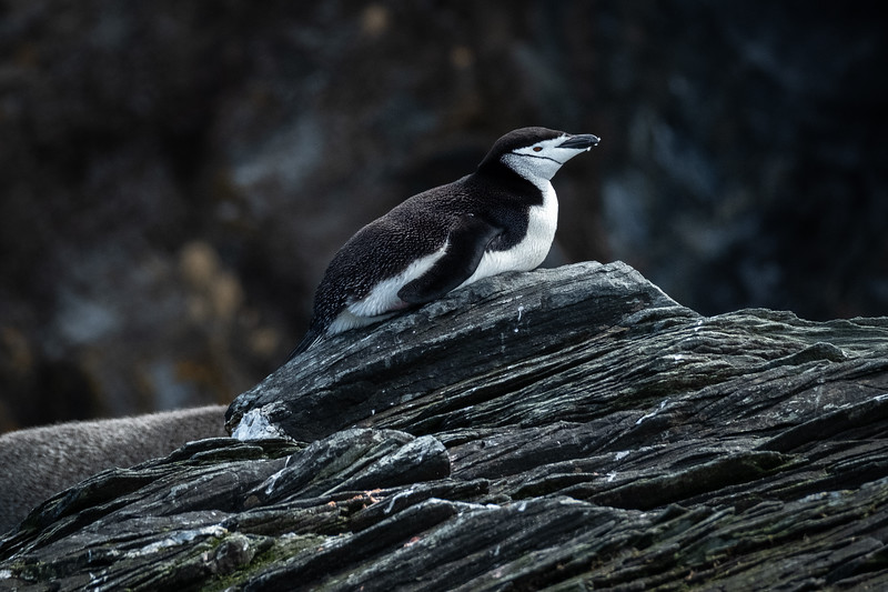 Chinstrap Penguin Prone, Cooper Bay, South Georgia