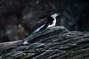 Chinstrap Penguin Prone, Cooper Bay, South Georgia