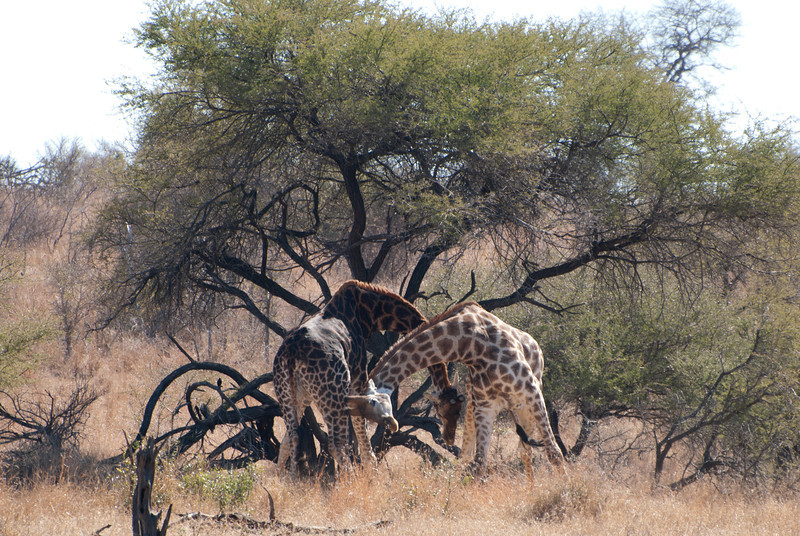 "<span id=""title"">Giraffe Fight 2</span> <em>Kruger National Park</em> So giraffes aren't exactly fierce warriors - they just whack each other with their horns, which are pretty blunt and small. I'm sure it still hurts a lot."