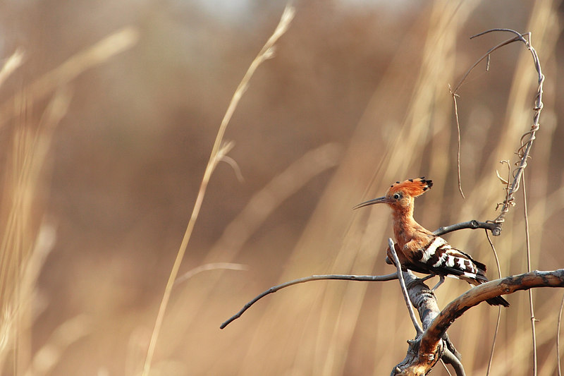 African Hoopoe (Upupa africana), Waza National park, Extreme-North, Cameroon.