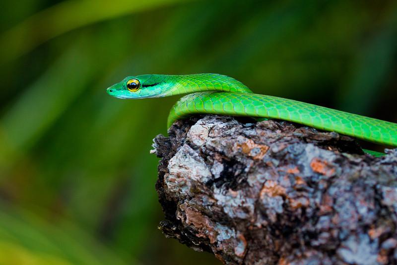 Green Parrot Snake, Panama