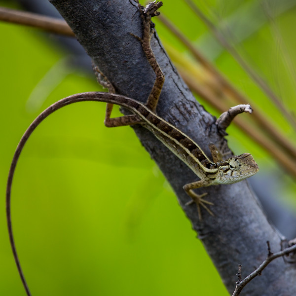 Agame Lizard, Sri Lanka