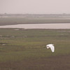 Great egret at Aransas NWR.
