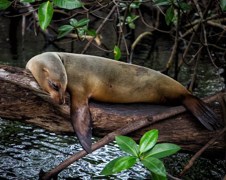 Sea Lion Resting in Mangroves, Galapagos