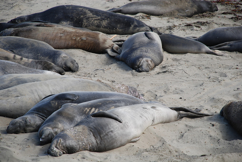 "<span id=""title"">Elephant Seals </span> This was a total surprise! Just north of Hearst Castle and San Simeon, there's an elephant seal viewing area, where about 20 of the giant things were just hanging out on the beach."