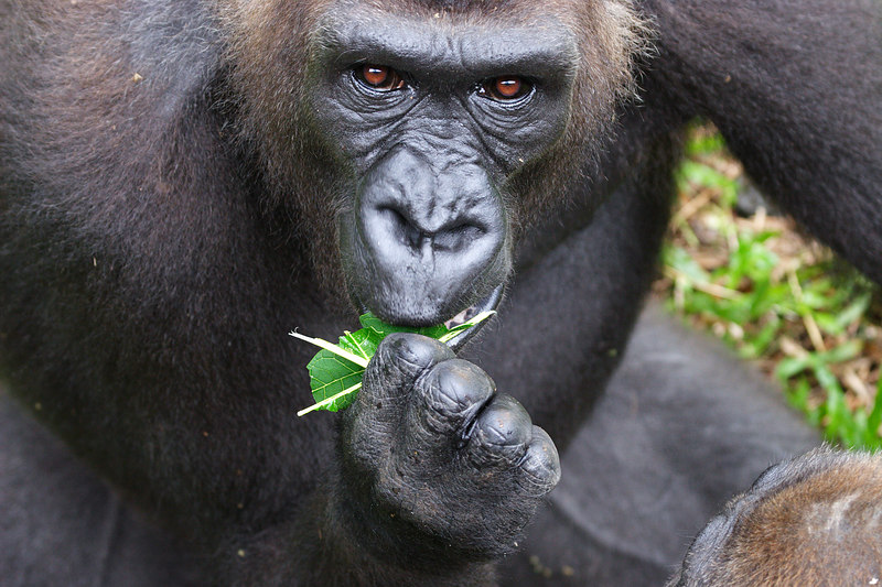 Female Silver back gorilla, Limbe, Cameroon.