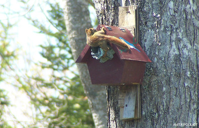 Baby squirrel-Anita Pouliot photo May 12, 2012