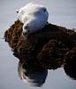 Harbor Seal, California