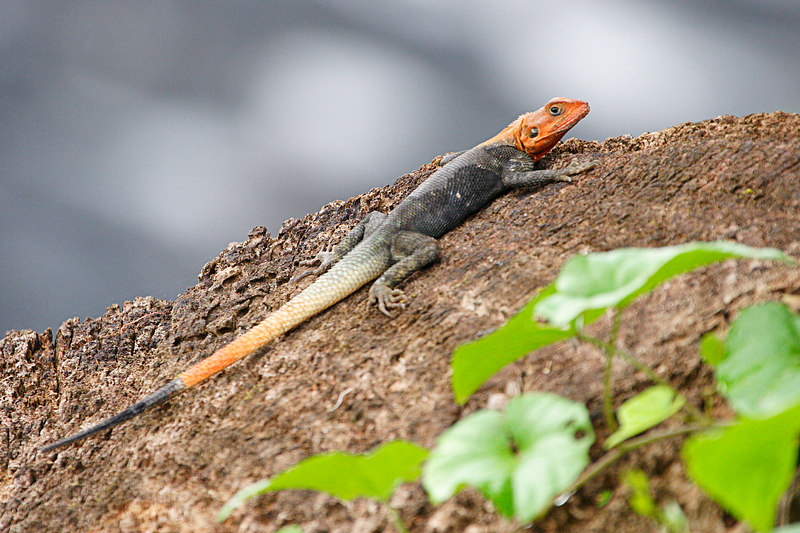 Red and grey lizard, Idenao, West coast, Cameroon.