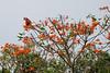 Scarlet Macaw in Orange Tree, Tambopata, Peru