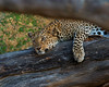 Leopard on Log, Botswana