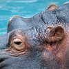"""<span id=""""title"""">Eyes and Ears</span> My lens was too long to include the mouth and nose. Or the shoulders and knees for that matter. This photo was taken shortly after the hippo wandered away from its breakfast and back into the water - I was expecting some splashing, but it was pretty graceful, if that's the right word. No, I'm sure there's a better word for that. Let me know if you think of it."""