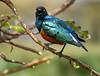 Angry Bird, Tanzania
