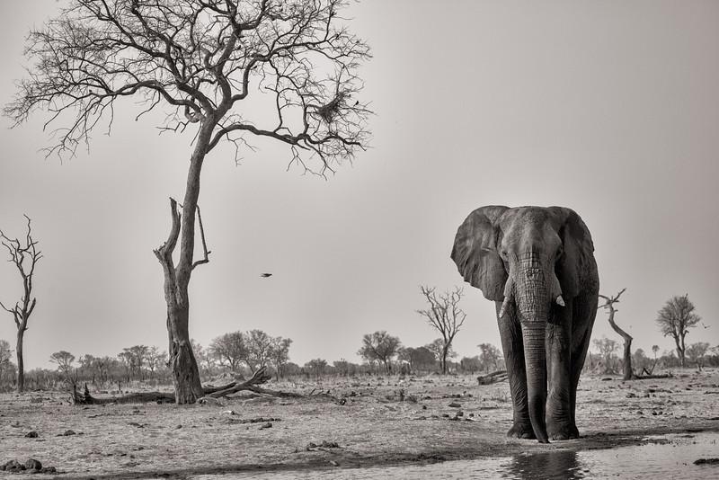 Bull Elephant Approaching, Zimbabwe
