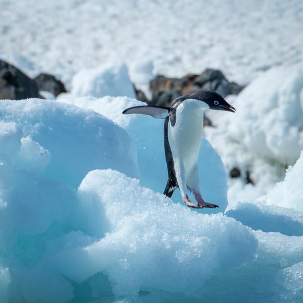Adelie Penguin Jumping, Kinnes Cove, Antartica