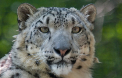 Snow Leopard (Captive) USA
