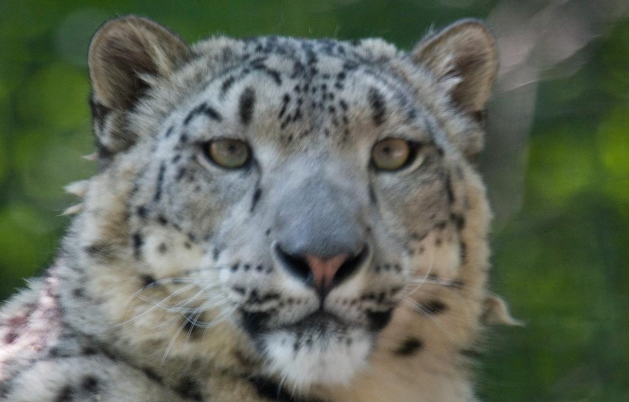 Snow Leopard (Captive) USA