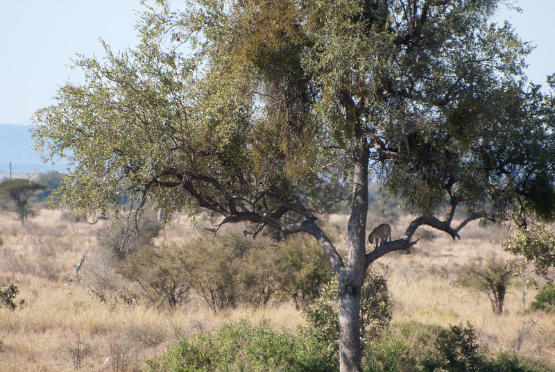 """<span id=""""title"""">Distant Leopard</span> <em>Kruger National Park</em> I still can't believe the guide spotted this. When we pulled over, you could just barely see the leopard lying in the tree with its legs hanging down. After a few seconds, it got up and decided to leave."""