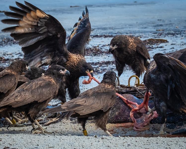 Caracara Feasting on Dead Seal, Carcass Island, Falklands
