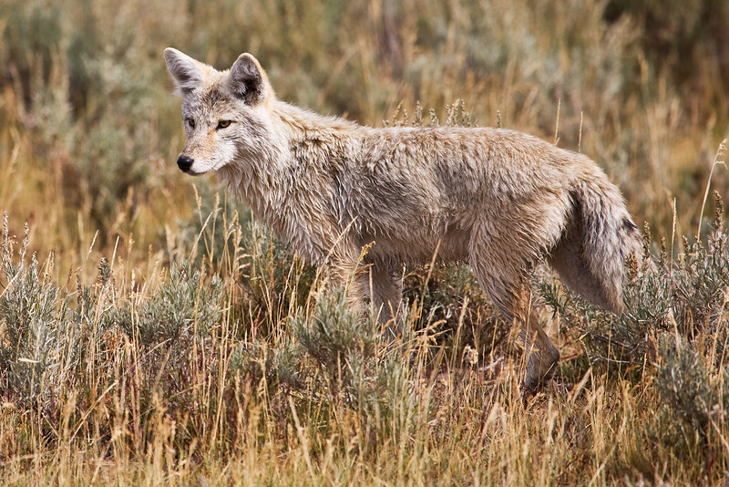 Coyote,  Lamar Valley, Yellowstone