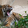 """<span id=""""title"""">Yawn</span> Hell yeah I got a photo of a tiger yawning! It was awesome enough that both tigers were out, but even cooler that they were moving around. Not a lot... but considering you usually don't even see them it was pretty cool. I had my eye on this guy, and I knew if I waited long enough he would yawn. He is a cat, after all."""