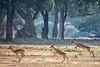 Running Impalas, Zimbabwe