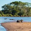 Capybara and Caiman, Pantanal, Brazil