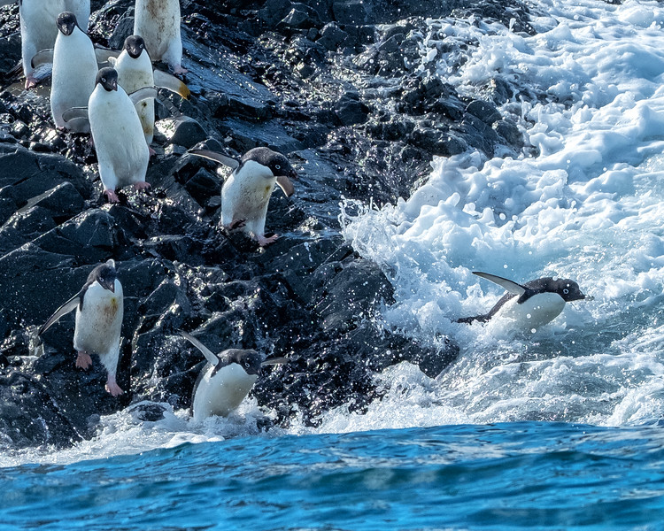 Adelie Penguins Going to Sea, Kinnes Cove, Antartica