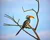 Yellow Billed Hornbill, Namibia
