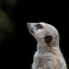 "<span id=""title"">Meerkat</span> Did you know the meerkat is neither a cat, nor a meer? This one is thinking about how adorable he is. That, and predators that want to eat him and his family."