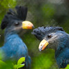 "<span id=""title"">Great Blue Turaco</span> (<em>Corythaeola cristata</em>)"