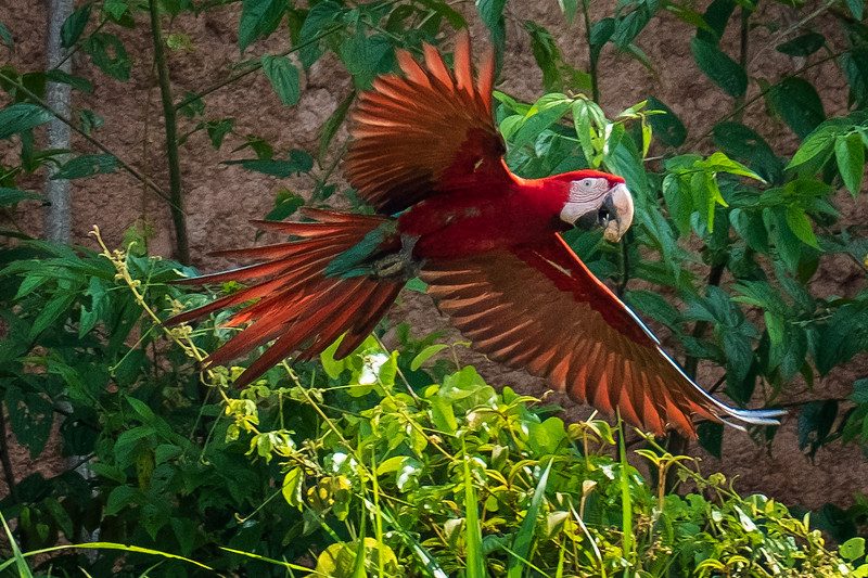 Red and Green Macaw Eating Clay, Tambopata, Peru