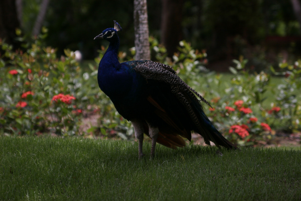 Mr. Peacock, looking for his ladies.