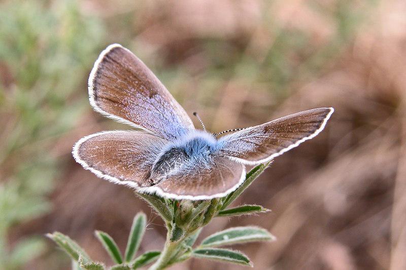Blue butterfly, Provence, France.