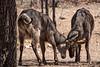 Waterbucks Locking Horns, Namibia