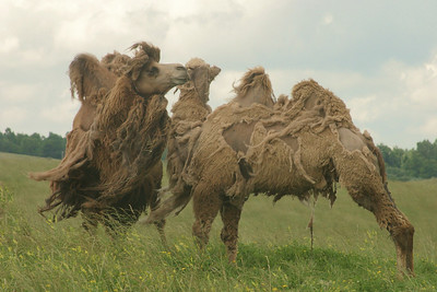 Bad Hair Day Moulting Camels (Captives) The Wilds Ohio, USA