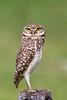 Burrowing Owl, Pantanal, Brazil