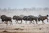 Running Wildebeests, Namibia