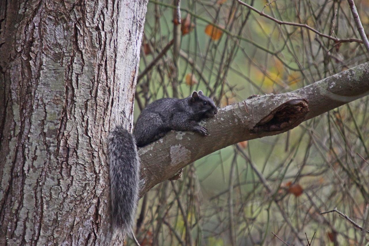 Chincoteague Black Squirrel
