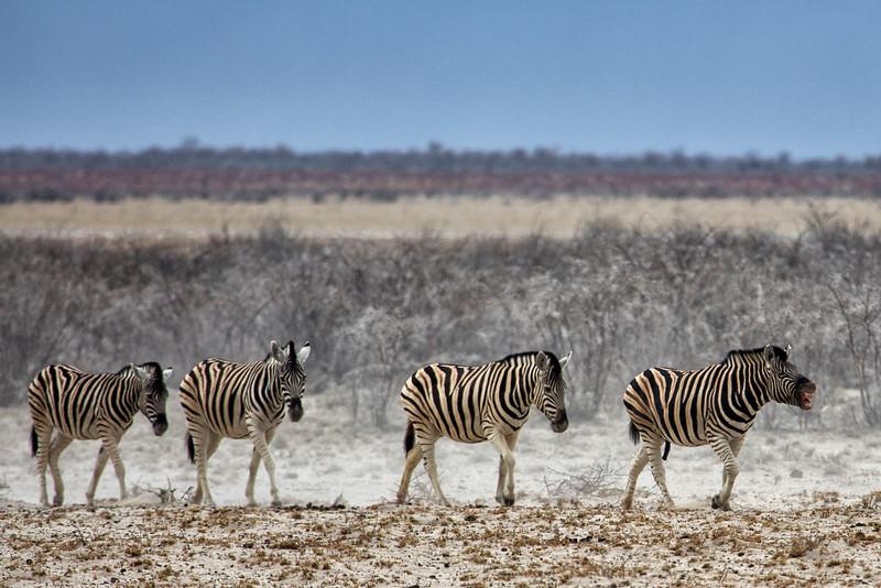 Zebra March, Namibia